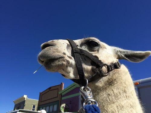 Llama Close-up