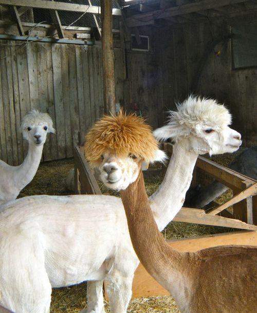 llamas animals farm