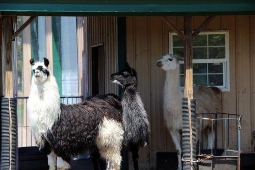 Llamas In The Barnyard