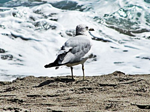 loan gull frothing sea sand