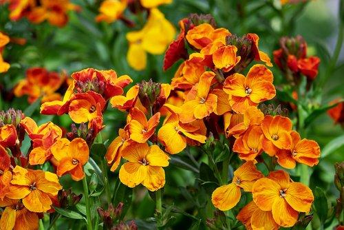 lobelia  fakel lobelia  flower