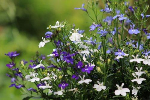 lobelia  garden  flower