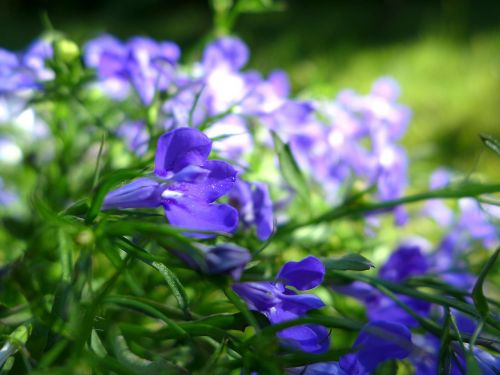 lobelia garden plant nature