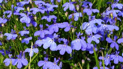 lobelia  flowers  summer