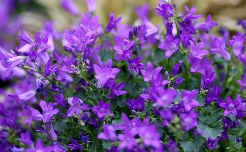 lobelia  flower  mov
