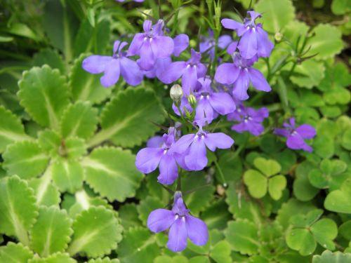 lobelia flowers blue