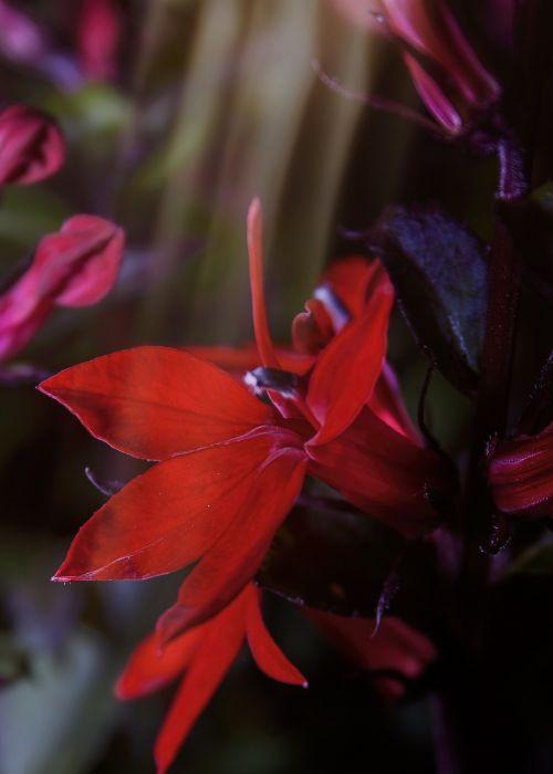 lobelia speziosa red shrub