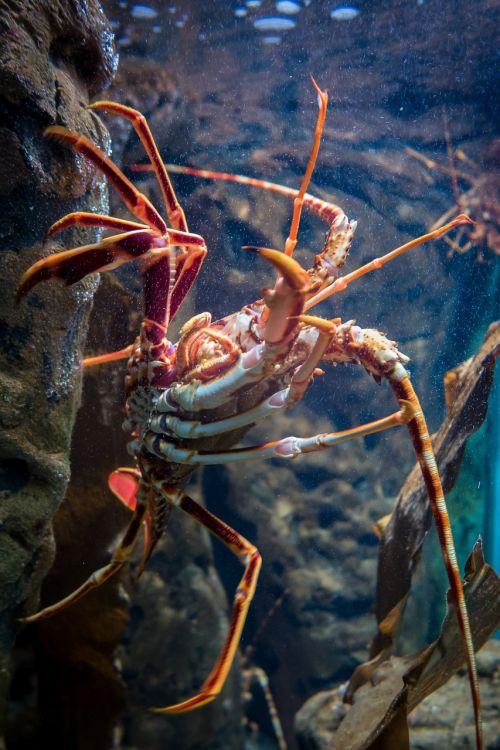 lobster aquarium crustacean