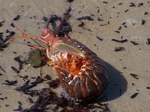 lobster cancer pet armor