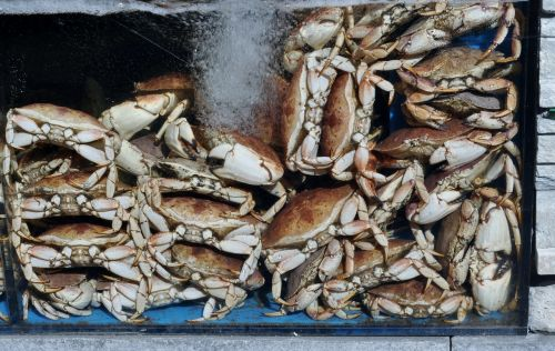 lobster crawfish shear
