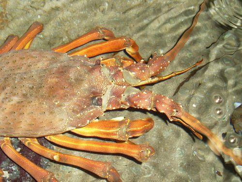 lobster crayfish lobster head