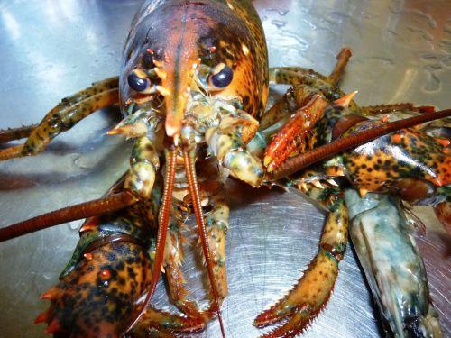 lobster animal crawfish