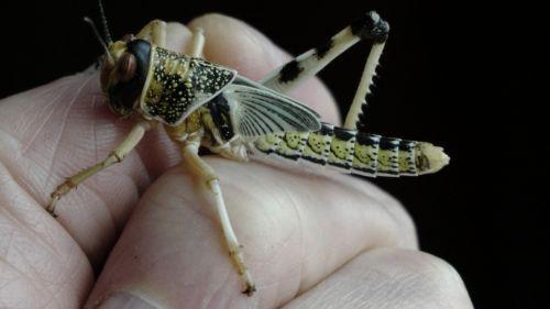Locust Insect