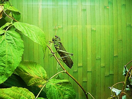 locusts giant insect