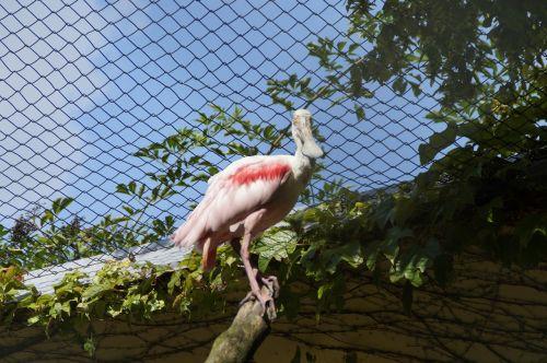 löffler bird bird aviary