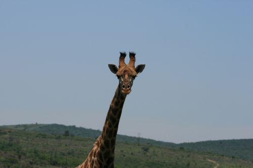 Lofty Giraffe Head