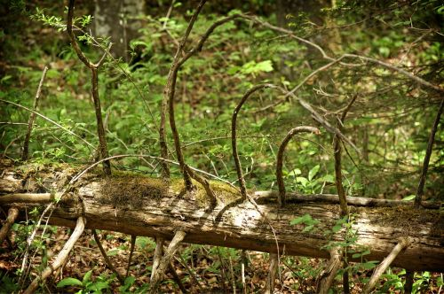 log tree old