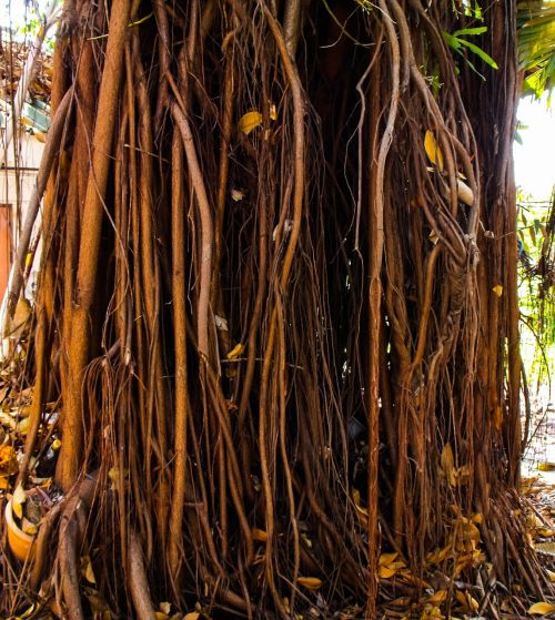 log aerial roots forest