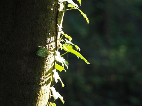 log ivy tree