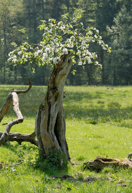 log blossom tree