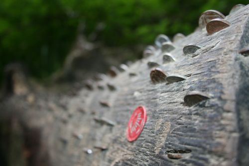 log wood tree