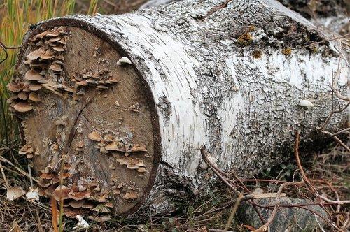 log  mushrooms  by