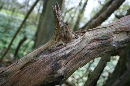log wood tree