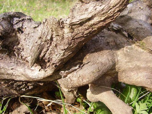 log wood stalk