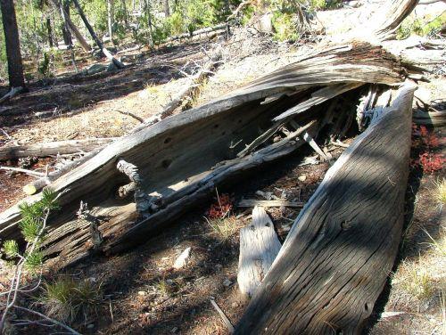 log tree hollow