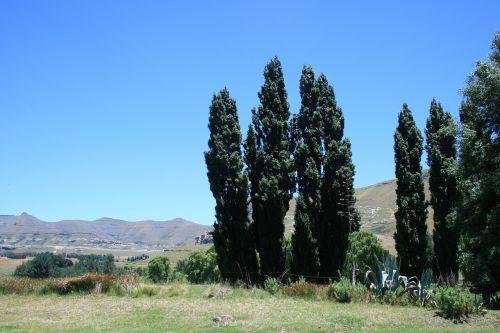 lombardi poplar known to clarens region green tall trees