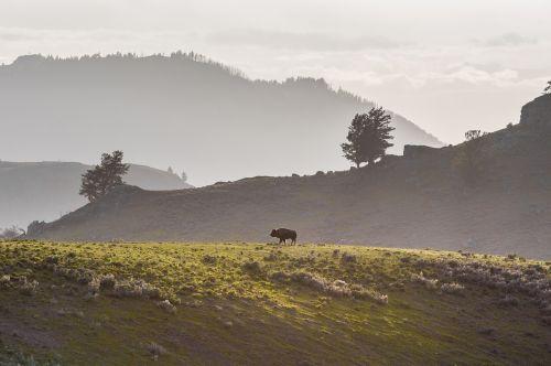 vienišas bizonas,buivolai,kraigas,laukinė gamta,gamta,laukiniai,vaikščioti,kraštovaizdis,kalvos,rūkas,geltonojo akmens nacionalinis parkas,Vajomingas,usa