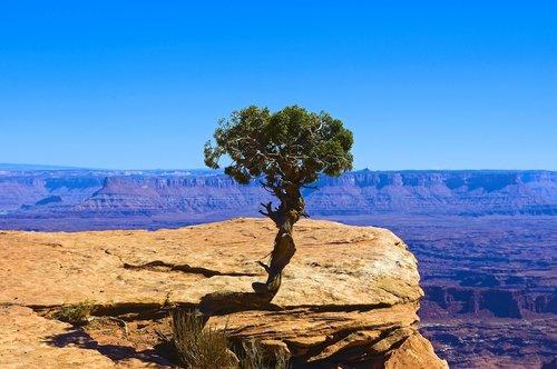 lone utah juniper  desert  rock