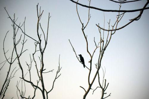 lonely crow barren