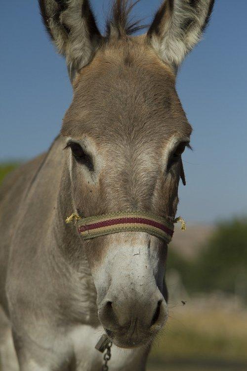 long  ear  donkey