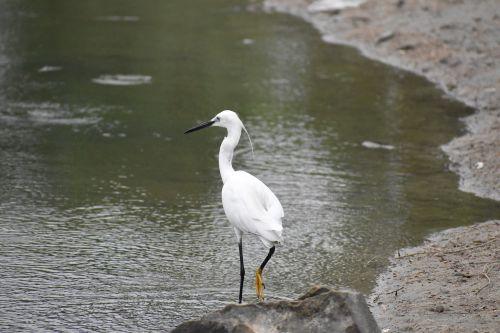 long beak black beak siberian crane