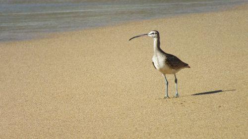 long billed hudsonian ave beach