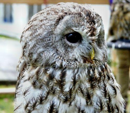 long eared owl bird rarely