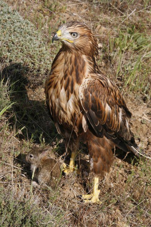long-legged buzzard predator wild