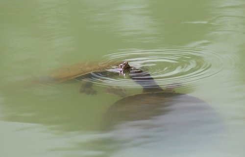 long-necked turtles  courtship  swimming