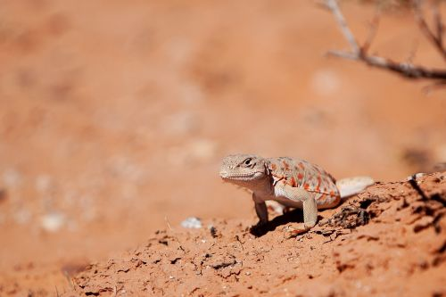 long nosed leopard lizard reptile wildlife