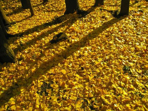 long shadows,sunset,evening,gingko tree,maidenhair tree,yellow,autumn,fallen leaves,stem,golden,carpet,otsu park,yokosuka,kanagawa,japan