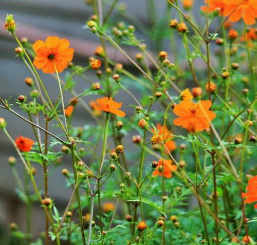 Long Stemmed Yellow Cosmos