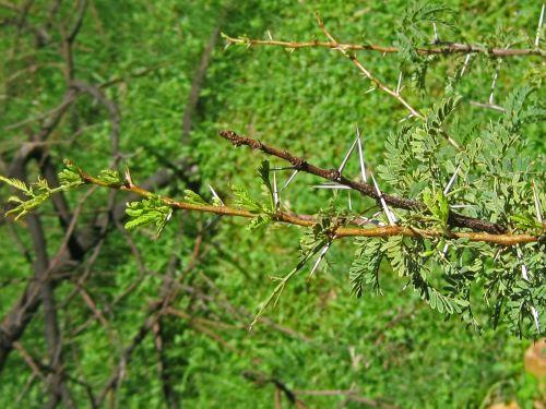 Long White Thorns On Acacia