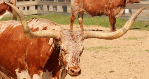 longhorn  cattle  livestock
