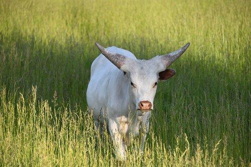 longhorn  texas  cattle