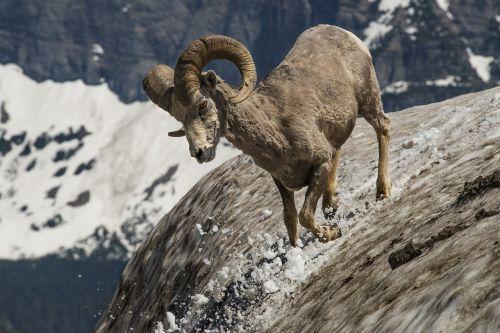 longhorn ram wildlife
