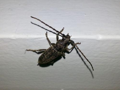 longhorn beetle longhorn borer beetle