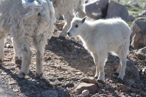 longhorn sheep baby sheep