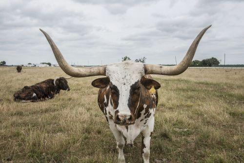 longhorn steer cattle bovine