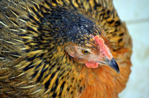 Longwings The Hen